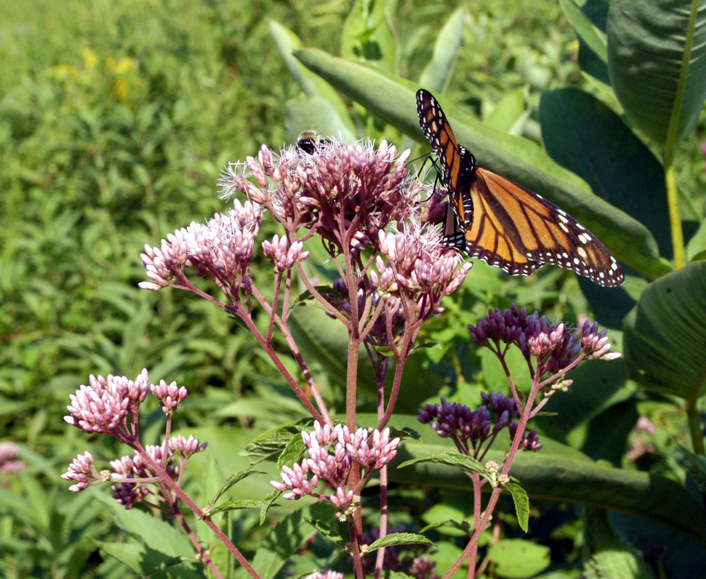 A joe pye weed by any other name the field notebook for Joe pye weed