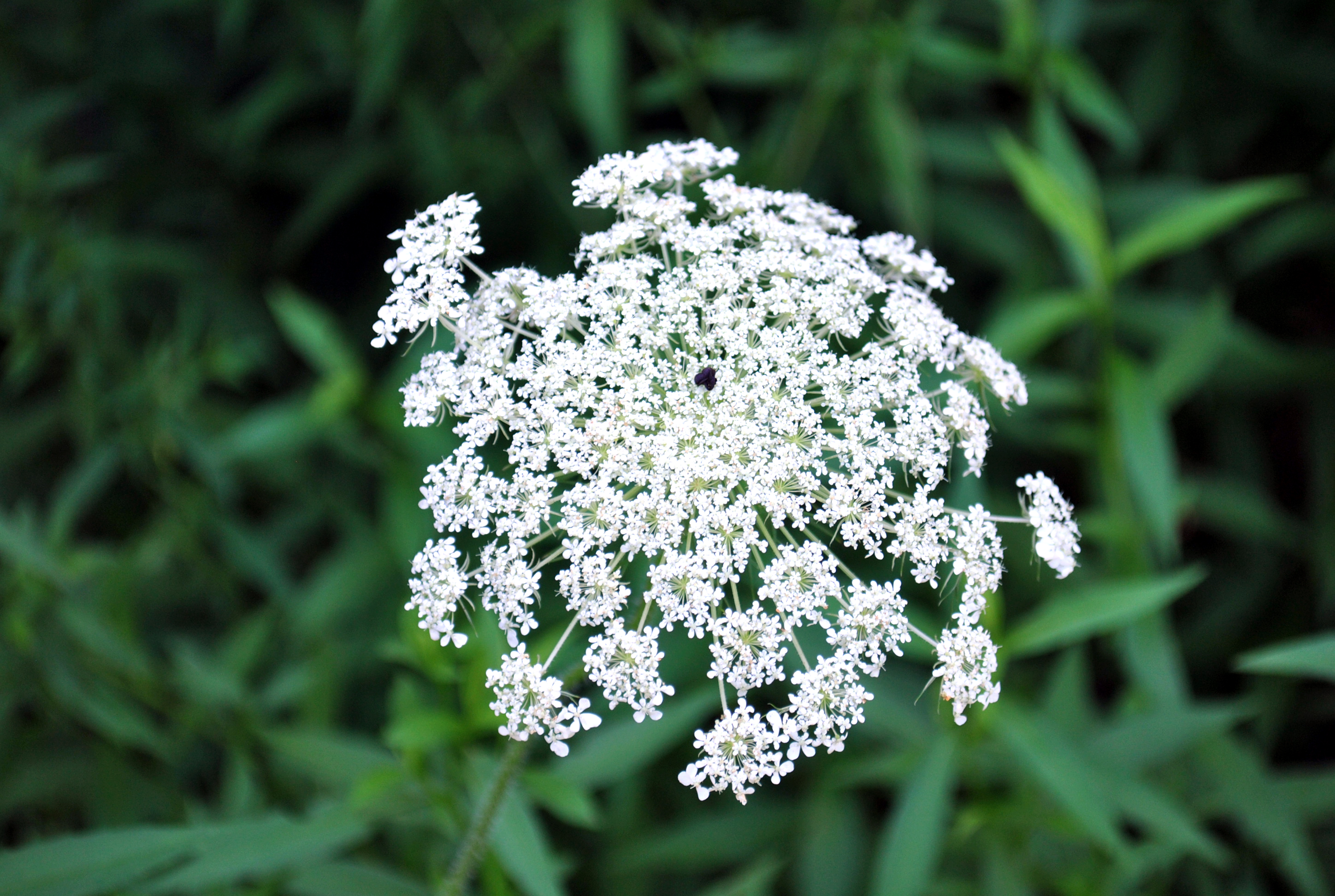 Image result for queen anne's lace